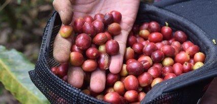 Curiosidades del kopi luwak, el café más caro del mundo