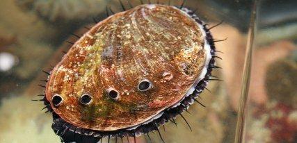 El marisco más caro del mundo, el abalón